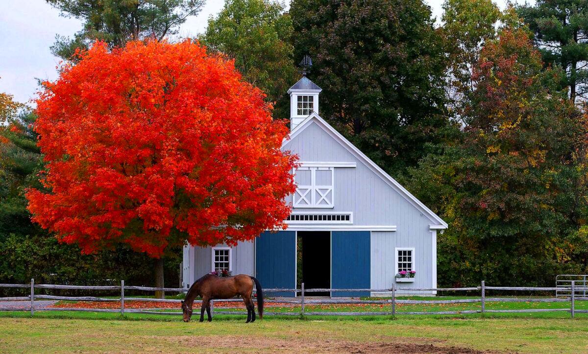 Con ngựa ung dung gặm cỏ trước cây phong rực lá đỏ ở Boxford, bang Massachusetts, Mỹ. Vào mùa thu, những tán lá xanh trên các rặng cây phong đã chuyển thành màu đỏ sẫm, vàng rực trải dài khắp Bắc Mỹ, thu hút hàng triệu du khách ghé thăm. Ảnh: EPA