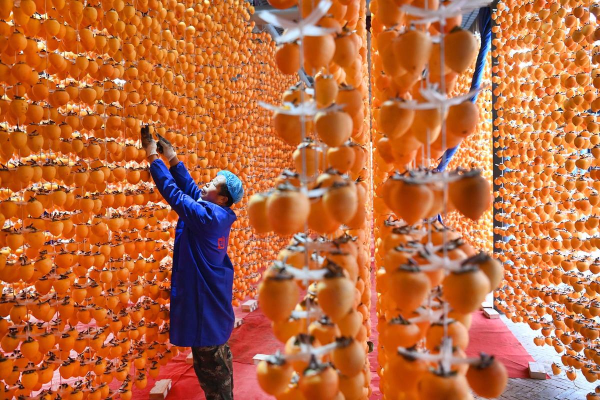 Thu đến, con người thả mình vào thiên nhiên, trong khi đó các loại cây trồng như bí ngô, các loại trái chín như táo hay hồng cũng vào vụ thu hoạch. Trong ảnh là nghề làm hồng treo gió, một trong những công đoạn làm mứt hồng sau khi thu hoạch trái giúp người dân kiếm thêm thu nhập tại Fuping, Trung Quốc. Ảnh: Xinhua/Rex/Shutterstock